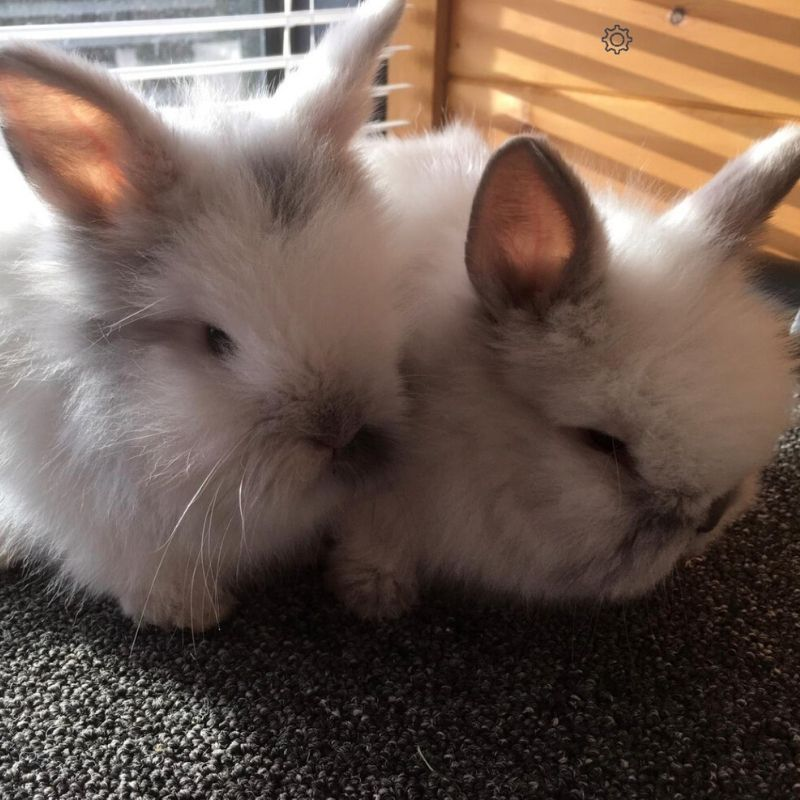 Blue and Bea (The Lion Head Rabbits)
